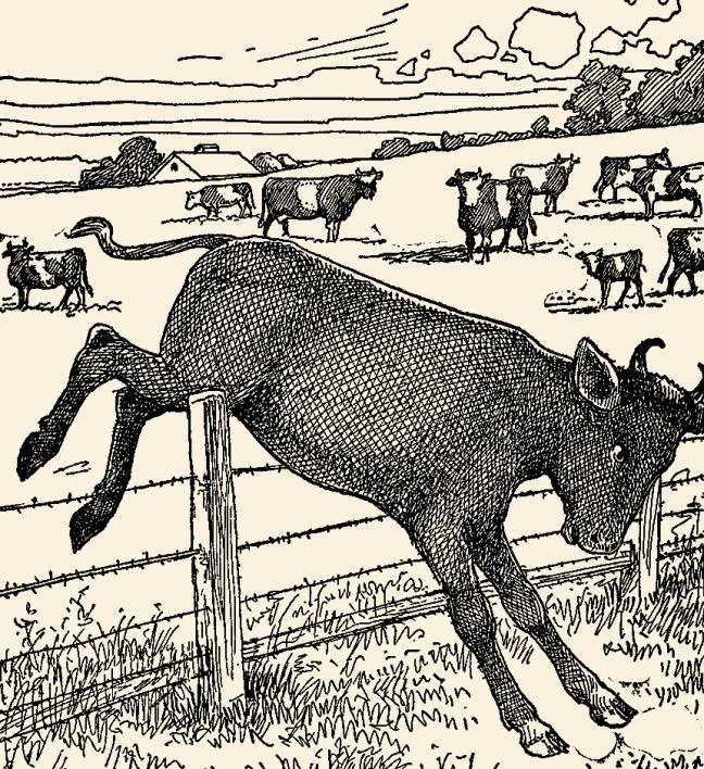 Miss-Long-Legs-Cow-&-Calves